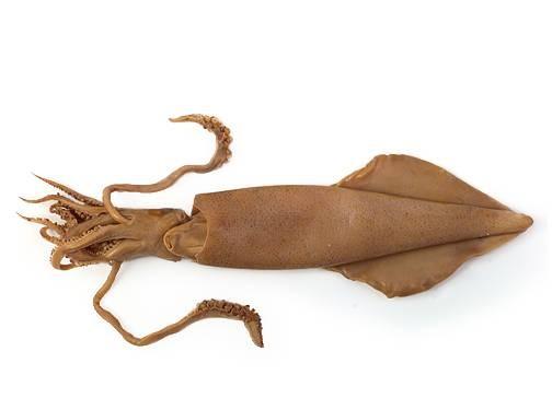 Squid deutsch